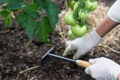 Pomodori di pacciamazione organici Immagine Stock
