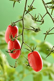 Pomodori di Piccadilly Immagine Stock