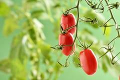 Pomodori di Piccadilly Fotografie Stock Libere da Diritti
