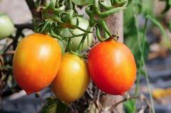 Pomodori di prugna sulla pianta Fotografia Stock Libera da Diritti