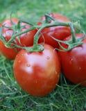 Pomodori di prugna sulla vite Immagini Stock Libere da Diritti