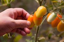 Pomodori di raccolto fotografia stock libera da diritti