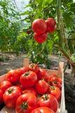 Pomodori di raccolto fotografia stock