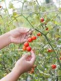 Pomodori di raccolto del giardiniere Fotografia Stock