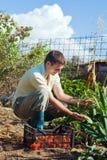 Pomodori di raccolto del giovane su un'azienda agricola Immagine Stock