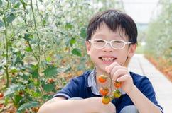 Pomodori di raccolto del ragazzo in azienda agricola Fotografie Stock Libere da Diritti