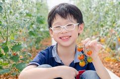 Pomodori di raccolto del ragazzo in azienda agricola Fotografia Stock Libera da Diritti