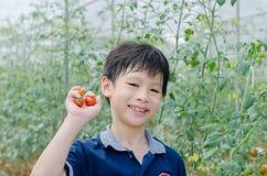 Pomodori di raccolto del ragazzo in azienda agricola Fotografia Stock