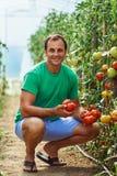 Pomodori di raccolto dell'agricoltore dal suo giardino Immagini Stock