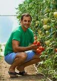 Pomodori di raccolto dell'agricoltore dal suo giardino Immagine Stock Libera da Diritti