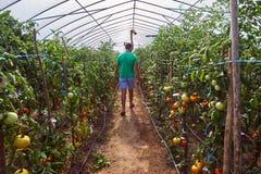 Pomodori di raccolto dell'agricoltore dal suo giardino Immagine Stock