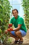 Pomodori di raccolto dell'agricoltore dal suo giardino Fotografia Stock Libera da Diritti