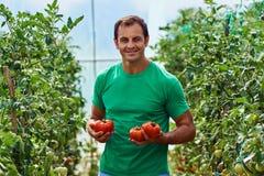 Pomodori di raccolto dell'agricoltore dal suo giardino Fotografia Stock