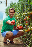 Pomodori di raccolto dell'agricoltore dal suo giardino Fotografie Stock