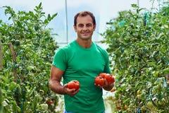 Pomodori di raccolto dell'agricoltore dal suo giardino Fotografie Stock Libere da Diritti