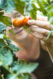 Pomodori di raccolto dell'agricoltore del raccolto del pomodoro immagine stock libera da diritti