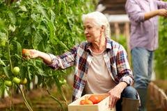 Pomodori di raccolto della donna anziana su alla serra dell'azienda agricola Immagini Stock Libere da Diritti