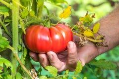 Pomodori di raccolto della mano degli agricoltori del raccolto dei pomodori Fotografie Stock