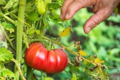 Pomodori di raccolto della mano degli agricoltori del raccolto dei pomodori Immagini Stock