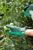 Pomodori di spruzzatura del lavoratore del giardino Fotografia Stock Libera da Diritti