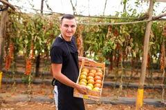 Pomodori di trasporto dell'agricoltore felice del giovane in scatole di legno nel gr Immagini Stock