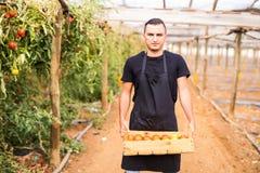 Pomodori di trasporto dell'agricoltore felice del giovane in scatole di legno nel gr Fotografie Stock Libere da Diritti