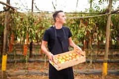 Pomodori di trasporto dell'agricoltore felice del giovane in scatole di legno in una serra Immagine Stock