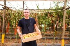 Pomodori di trasporto dell'agricoltore felice del giovane in scatole di legno in una serra Immagini Stock Libere da Diritti