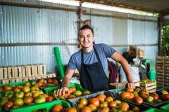 Pomodori di trasporto dell'agricoltore felice in una serra Fotografia Stock
