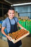 Pomodori di trasporto dell'agricoltore felice in una serra Fotografie Stock