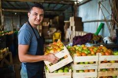Pomodori di trasporto dell'agricoltore felice in una serra Immagine Stock