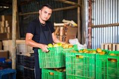 Pomodori di trasporto dell'agricoltore organico felice in scatole prima delle vendite dentro Fotografia Stock