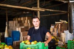 Pomodori di trasporto dell'agricoltore organico felice in scatole prima delle vendite dentro Fotografie Stock Libere da Diritti