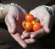 Pomodori a disposizione Immagini Stock Libere da Diritti