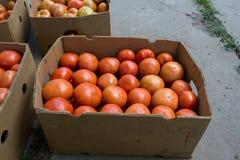 Pomodori dopo la raccolta Fotografia Stock
