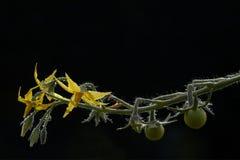 Pomodori e fiori Immagini Stock Libere da Diritti