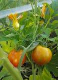 Pomodori e fiori dello zucchini fotografia stock libera da diritti