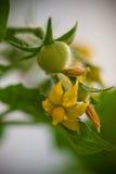 Pomodori e fiori di ciliegia fotografia stock