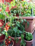 Pomodori e pianta rossi del basilico nel terrazzo Fotografia Stock Libera da Diritti