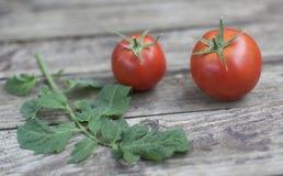 Pomodori e ramo di recente selezionati del pomodoro sulla vecchia tavola di legno Immagini Stock