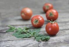 Pomodori e ramo di recente selezionati del pomodoro sulla vecchia tavola di legno S Immagine Stock