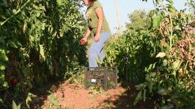 Pomodori femminili del raccolto dell'agricoltore video d archivio