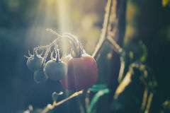 Pomodori freschi maturi Immagine Stock Libera da Diritti