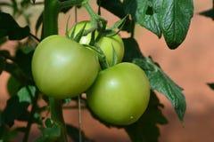 Pomodori freschi sulla pianta dell'albero Immagini Stock