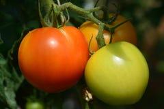 Pomodori freschi sulla pianta dell'albero Fotografia Stock