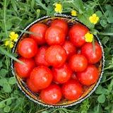 Pomodori freschi in una ciotola sull'erba Fotografia Stock Libera da Diritti