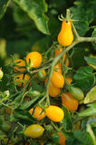 Pomodori gialli Immagini Stock