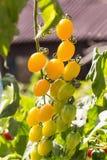 Pomodori gialli freschi sulla pianta immagini stock libere da diritti