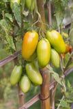 Pomodori gialli freschi sulla pianta immagine stock libera da diritti