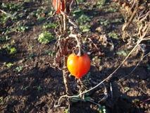 Pomodori Giardino con il raccolto del pomodoro fotografia stock libera da diritti